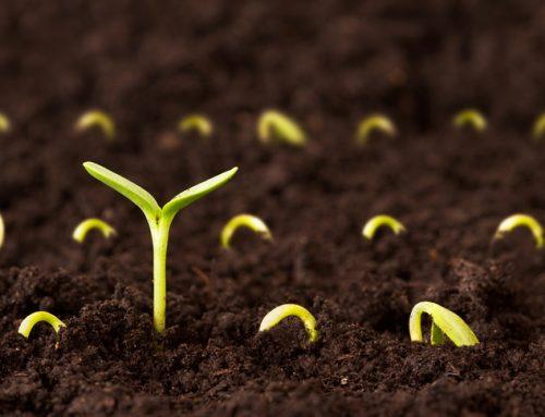 Trichoderma gombák a tavaszi vetések sikeréért